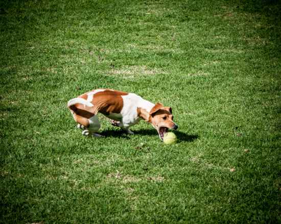 adult jack russell terrier playing ball